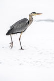 Great blue heron in snow. Great blue heron Ardea herodias in snow and ice Royalty Free Stock Images