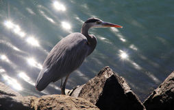 Great Blue Heron and Sparkling Ocean Glare. A great blue heron sits on the rocks in Mission Bay, San Diego.  The water sparkles behind him in the afternoon sun Royalty Free Stock Image