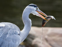 Great blue heron spears a fish Royalty Free Stock Image