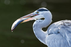 Great blue heron spears a fish Stock Image