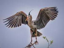 Great Blue Heron spreading its wings Stock Images