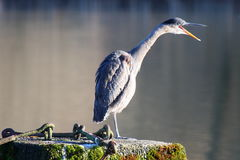 Great Blue Heron Squawk.... Stock Photo