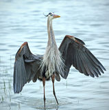 Great blue heron stading in water of Florida's Gulf Coast. Royalty Free Stock Photography