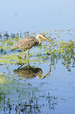 Great blue heron stalking Stock Images