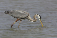 Great Blue Heron Stalking a Fish Royalty Free Stock Photo