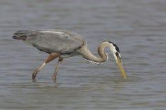 Great Blue Heron Stalking a Fish