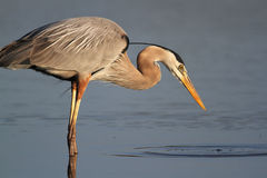 Great Blue Heron Stalking its Prey Royalty Free Stock Photography