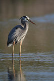 Great Blue Heron Stalking its Prey Royalty Free Stock Photos