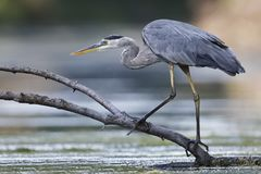 Great Blue Heron stalking its prey Stock Photo