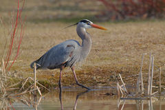 Great Blue Heron Stalking its Prey at the Edge of a Pond Royalty Free Stock Image