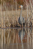 Great Blue Heron Stalking its Prey at the Edge of a Pond Stock Images
