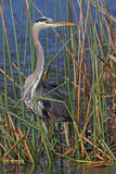 Great Blue Heron Stalking its Prey in a Florida Marsh. Great Blue Heron (Ardea herodias) Stalking its Prey in a Florida Marsh Stock Photos