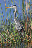 Great Blue Heron Stalking its Prey in a Florida Marsh. Great Blue Heron (Ardea herodias) Stalking its Prey in a Florida Marsh Royalty Free Stock Photos