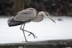 Great Blue Heron Stalking its Prey on Frozen River Royalty Free Stock Photo