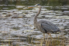 Great Blue Heron Stalking its Prey in a Marsh Royalty Free Stock Photography