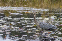 Great Blue Heron Stalking its Prey in a Marsh Royalty Free Stock Images