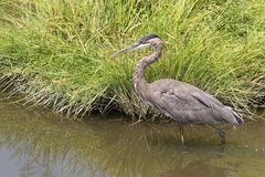 Great Blue Heron Stalking Lunch Stock Images