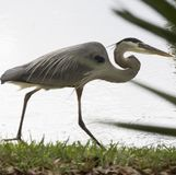 Great blue Heron stalking Stock Image