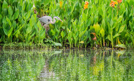Great Blue Heron stalking prey Stock Photo
