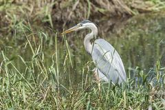 Great Blue heron stalks a fish. Stock Photo