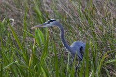 A Great Blue Heron stalks prey in tall grass. A great blue heron quietly hunts in the tall wetlands grass of the Florida Everglades stock images
