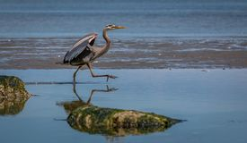 Blue heron ` ardea herodias ` chasing and catching fish. A great blue heron stalks the waters of an estuary to catch fish Royalty Free Stock Photo
