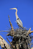 Great Blue Heron Standing in its Nest Royalty Free Stock Photography