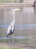 Great Blue Heron. A Great Blue Heron standing on the bank and taking in the beauty of Santee Lakes, California Stock Image
