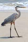 Great blue heron standing on a beach in Florida Stock Photography