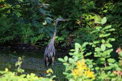Great Blue Heron. Standing in a brook, ready to catch dinner Royalty Free Stock Photography