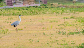 Great blue heron standing in a clearing stock images