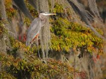 Great blue heron standing on a cypress tree in Lake Martin. View of a great blue heron standing on a cypress tree in Lake Martin, Louisiana royalty free stock photography