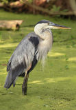 Great Blue Heron Standing in the Duck Weed Swamp Royalty Free Stock Photography