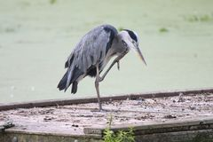 Great blue heron standing stock images