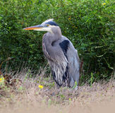 Great Blue Heron Standing in the Grass. Great Blue Heron at Yolo Bypass Wildlife area in California stock photos