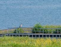 Great blue heron standing in grassy area next to a lake. Great blue heron standing on a metal rail in grassy area next to a lake Royalty Free Stock Photo