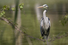 Great Blue Heron. Standing in green pond water Royalty Free Stock Photos