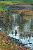 Great Blue Heron Standing Royalty Free Stock Photo