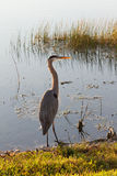 Great Blue Heron Standing. Great blue herons are waders, typically seen along coastlines, in marshes, or near the shores of ponds or streams. They are expert Royalty Free Stock Photo