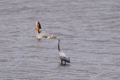 Great Blue Heron watching a Golden Carp jump out of the lake royalty free stock photos