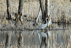 A Great Blue Heron Standing in a Marsh Along the Minnesota River Stock Photos