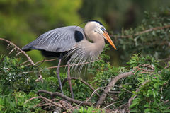Great Blue Heron standing on a nest. It is the largest North American heron. royalty free stock image