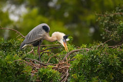 Great Blue Heron standing on a nest. It is the largest North American heron. royalty free stock photography