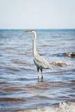Great Blue Heron standing in ocean Royalty Free Stock Image