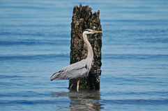 Great Blue Heron standing by old timber piling Royalty Free Stock Photo