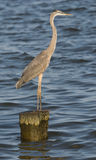Great Blue Heron Standing on Pile. Great Blue Heron (Herodias ardea) standing on piling in the Chesapeake Bay in North Beach, Maryland USA royalty free stock images
