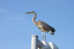 Great blue heron standing on a pole Royalty Free Stock Photography