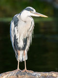 Great Blue Heron standing quietly Royalty Free Stock Photography