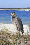Great Blue Heron Standing in the Reeds at the Waters Edge Stock Photo