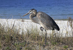 Great Blue Heron Standing in the Reeds at the Waters Edge Stock Image